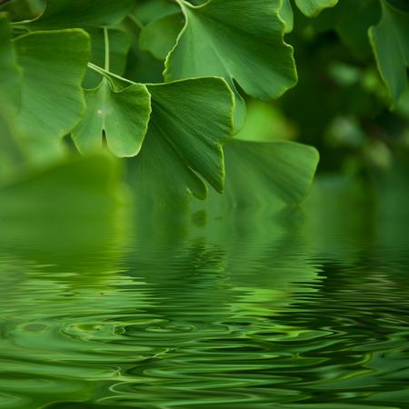 Ginkgo leaves reflexion