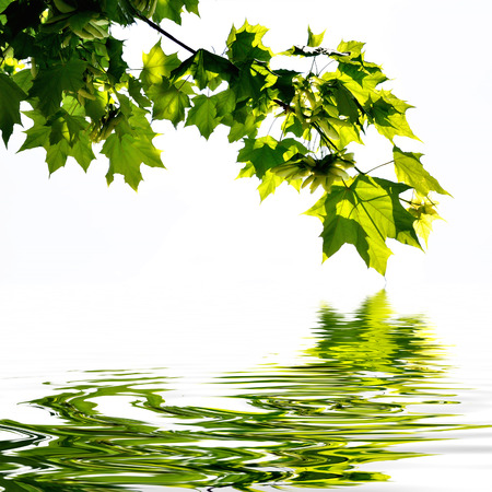 plane tree leaves on water reflection