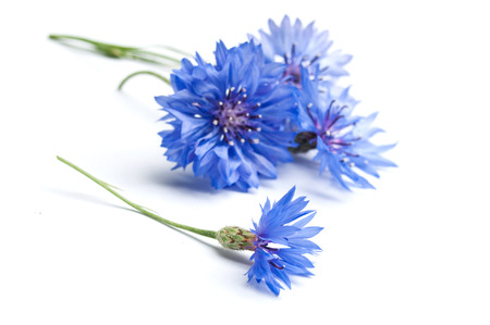 corn-flower close-up op een witte achtergrond Stockfoto