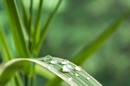 thalasso: raindrop on bamboo leaves closeup