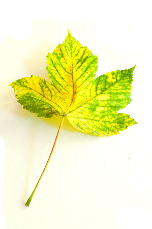sycamore leaf: Sycamore maple leaf in autumn on a white background Stock Photo