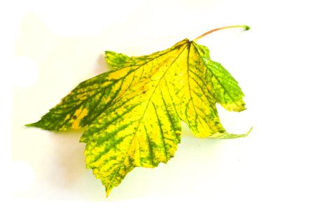 sicomoro: Sycamore foglia d'acero in autunno su uno sfondo bianco Archivio Fotografico