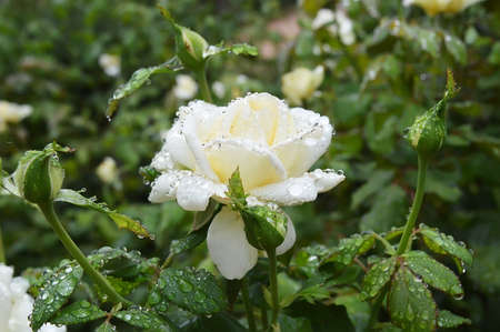 rosebush: rain drops on rosebush in a garden Stock Photo