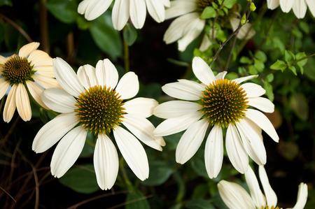 cheyenne: white echinacea Cheyenne spirit in a urban park
