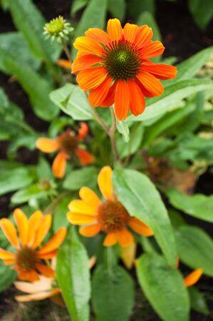 cheyenne: orange  echinacea Cheyenne spirit in a urban park Stock Photo