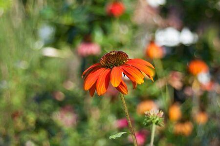 cheyenne: orange echinacea Cheyenne spirit in  urban park