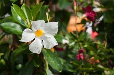 dipladenia: Mandevilla fiore in un parco urbano Archivio Fotografico