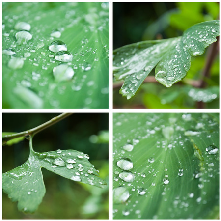 thalasso: rain drops on leaves and gingko biloba collage Stock Photo