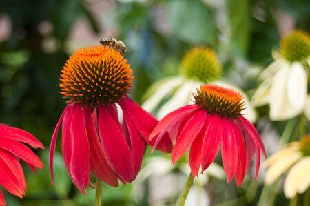 cheyenne: red echinacea Cheyenne spirit in a urban park