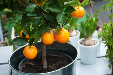 orange tree in a pot for terrace