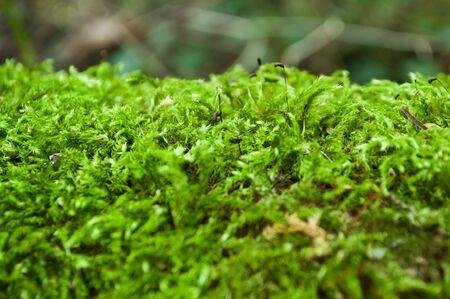bark rain tree: closeup moss on tree in the forest Stock Photo