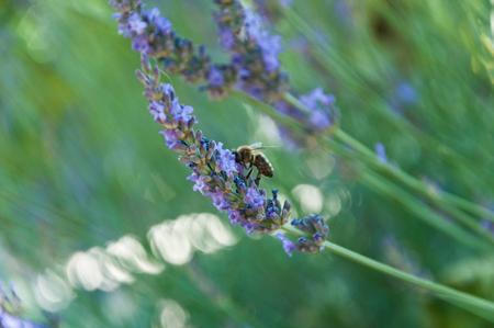 lavander: lavander closeup with bee