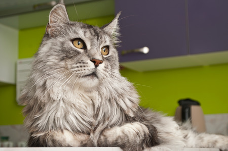 maine coon: Maine coon cat with grey hairs