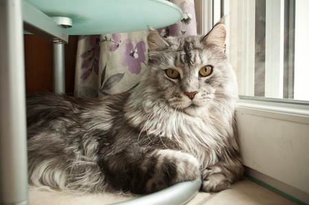 maine cat: Maine coon cat Stock Photo