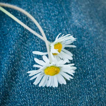 lustful: closeup of  of daisies on blue jeans background Stock Photo