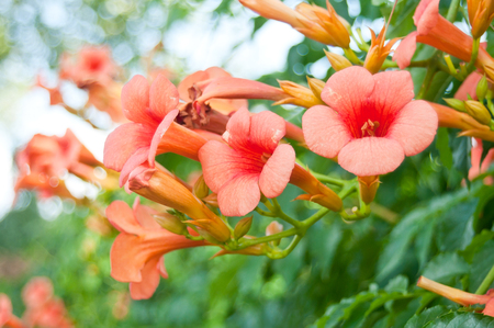 creeper: Beautiful red flowers of the trumpet vine or trumpet creeper (Campsis radicans) Stock Photo