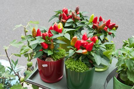 bush pepper: pepper decorative plants at the florist shop