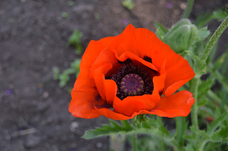 closeup of poppy in a garden