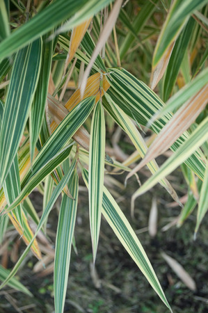 variegated: closeup of  bamboo variegated leaves in a garden Stock Photo