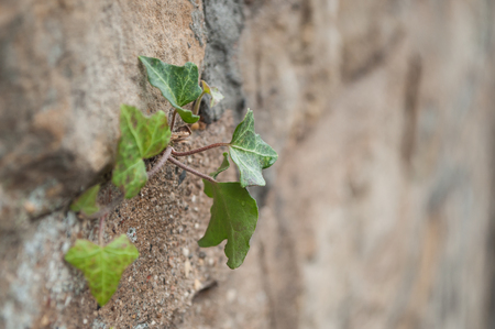 stoned: closeup of leaves of ivy in a stoned wall Stock Photo