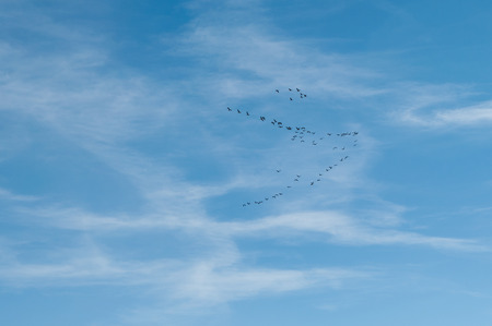 migratory birds: migratory birds in the sky on V-shaping