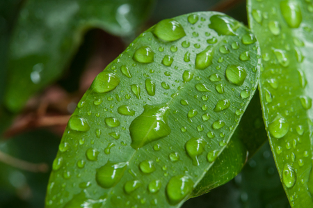 closeup of raindrops on ficus benjamin leaves Stock Photo