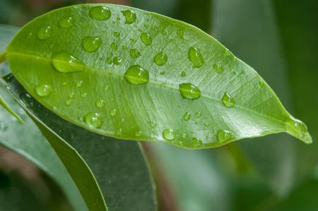 Closeup des gouttes de pluie sur les feuilles de ficus benjamin