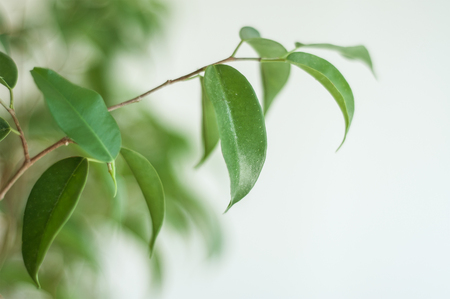 closeup of ficus benjamin branch Stock Photo