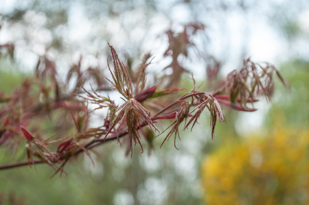 closeup of red japanese maple tree branch at spring