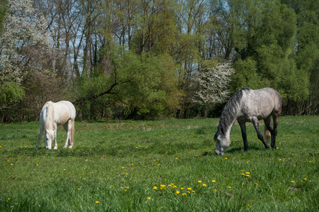 camargue: grey and white Horses grazing grass in a field