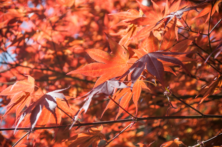 acer palmatum: closeup of red japanese maple leaves in a japanese garden