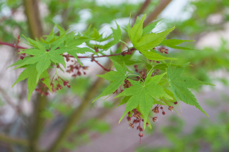 closeup of japanese maple leaves with flowers  in a japanese garden