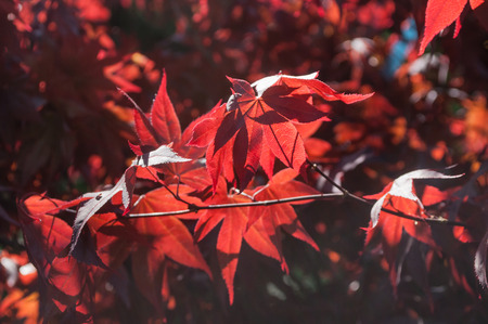 closeup of red japanese maple leaves in a japanese garden