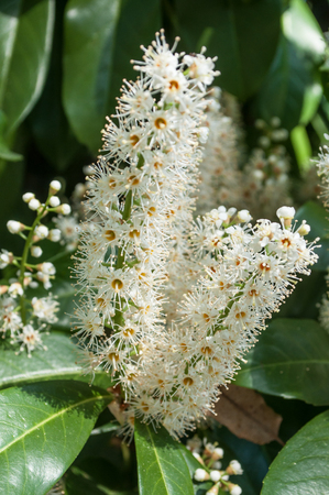 closeup of flowers of prunus laurocerasus in a hedge Stock Photo