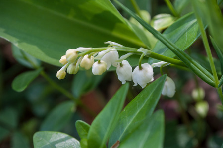 closeup of lily of the valley in the forest Stock Photo