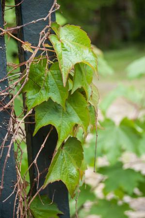 closeup of ivy leaves on vintage metallic rusty grid