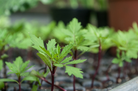 closeup of young plants of Carnations of india in a greenhouse