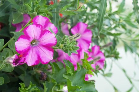 bi: closeup of pink petunia in a garden