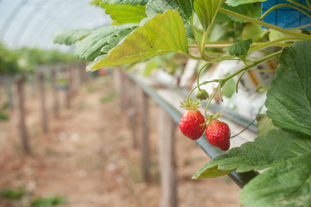 closeup of strawberries in a green house