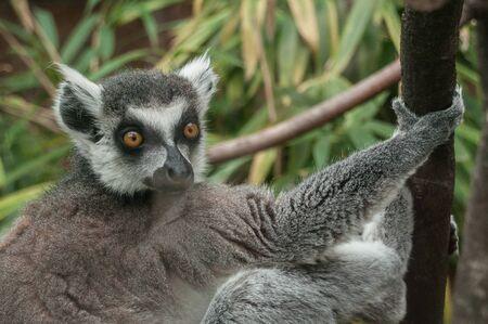 portrait of maki catta lemur  Stock Photo