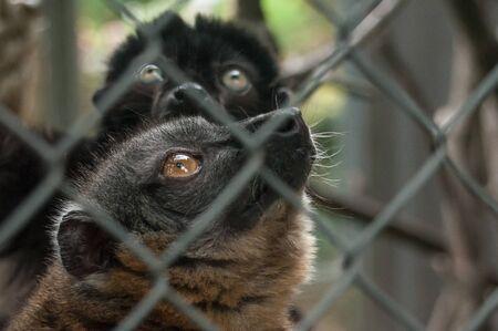 portrait of maki catta lemur in cage