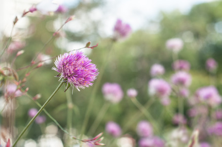 closeup of purple chive flowers in a pubic garden