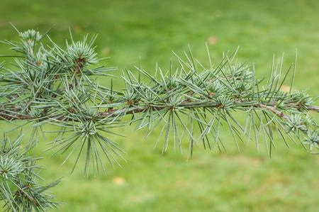 closeup of atlantic cedar branch in a pubic garden