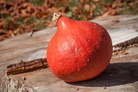 closeup of orange pumpkin in outdoor on strain tree