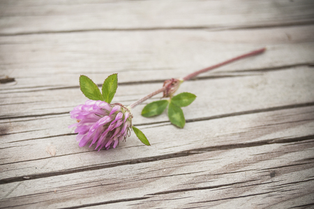 red clover: closeup of purple Clover flower on wooden table  Stock Photo