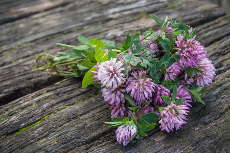red clover: closeup of bouquet of purple Clover flower on wooden table