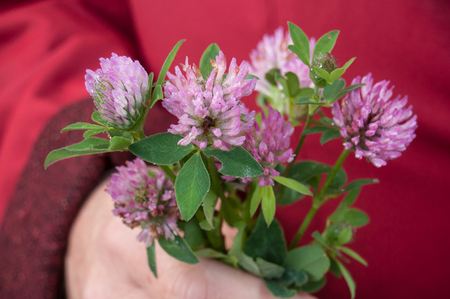 red clover: closeup  of purple Clover flower in hand of woman