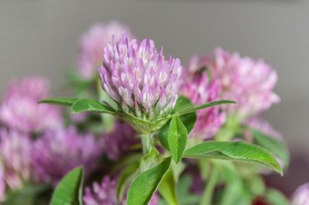 Closeup of bouquet of purple clover flower in pot stock photo closeup of bouquet of purple clover flower in pot stock photo 87483245 mightylinksfo