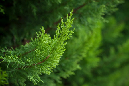 closeup of cypress tree branch in the hedge in garden