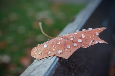 closeup of rain drops on maple leaf on wooden bench in public garden